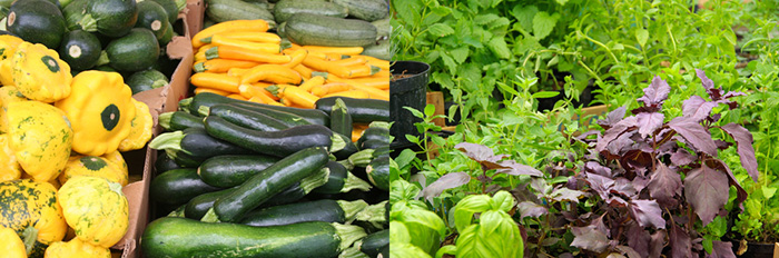 Green zucchini squash, yellow squash and fresh basil all grown locally at Holmquest Farms in Hudson, NY